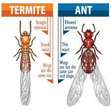 how to tell winged termites from ants