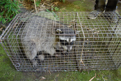trapped raccoons