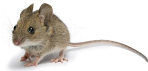 wood mouse exterminator